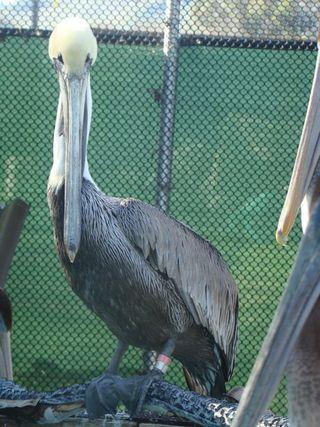 Male pelican