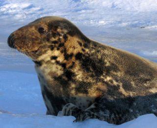 Hay-Island-grey-seal-2009_w