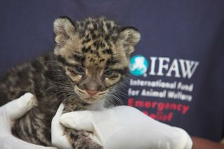 Clouded Leopard Close-up with IFAW logo and gloves back 2