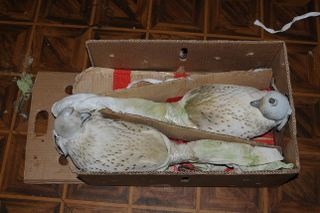 Pair of Gyrfalcons in smuggled box-low
