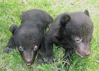 #1-Rescued-black-bear-cubs_