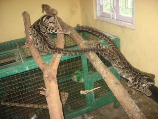 GrowingupCloudedLeopard