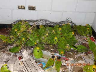 Yellowheadparrots