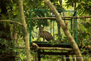 The clouded leopard cubs in the release site. Photo - Sandesh Kadur & WTI