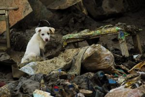 Dog among rubbles in Philippines