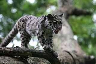 Cloudedleopard2