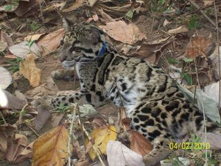 Clouded leopard cub with the nylon leash fitted to habituate it to radio-collaring. Photo - Dr Panjit Basumatary, IFAW-WTI