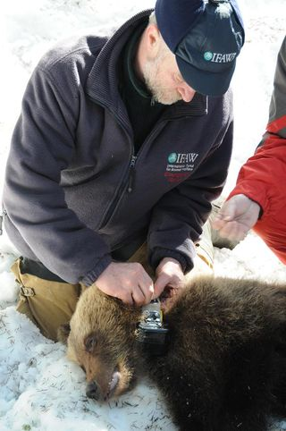 Orphaned Russian bears being fitted with satellite collars