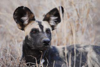 Wild dog, TW, c. IFAW/Nana Grosse-Woodley
