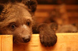 Bearcloseup4