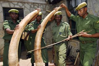 Rangers with tusks from a bust earlier in the year in Tsavo West . c. N. Grosse-Woodley