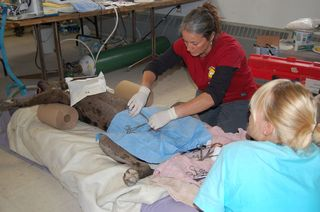 IFAW team in action on a great dane. c. IFAW