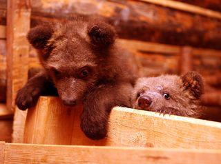 Bearscloseup3