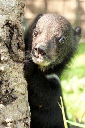 Bear cub cwrc 12 (Medium)