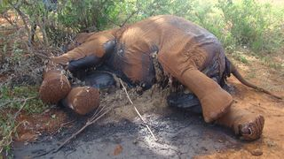 IFAW Africa: Security Operations Intensified as Elephants Poached in Tsavo