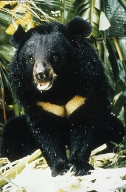 Bear_bile