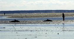 Dolphin_stranding_5