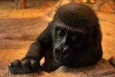 Gorilla2_wm_1