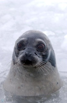 Seal_in_water_wm