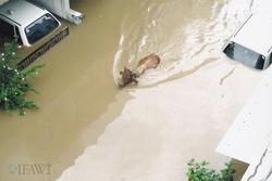 Surat_flood_cow_copy_1