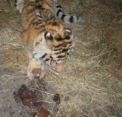 Tiger_injured_paw